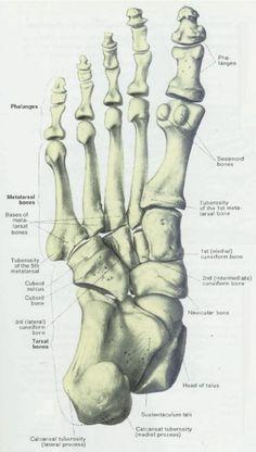 Feet (Human Anatomy): Bones, Tendons, Ligaments, and More   Feet ...