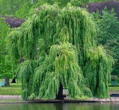 Weeping Willow 'Salix Babylonica' is a tree with great beauty. Sauce Arbol, Willow Bark, Weeping Willow, Weeping Trees, Tree Forest, Jolie Photo, Landscape Pictures, Plantation, Trees And Shrubs