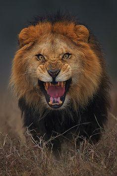 """ Angry King ~ By Atif Saeed """