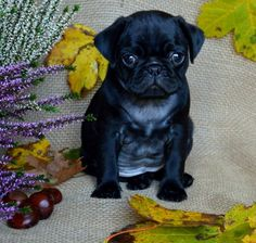 """Outstanding """"pug puppies"""" information is offered on our website. Have a look and you wont be sorry you did. Black Pug Puppies, Baby Pugs, Pug Pictures, Cute Pugs, Dog Runs, Pug Love, Dog Care, Doge, Best Dogs"""