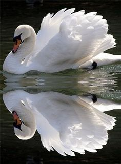 "We used to have swans on ""our pond""."