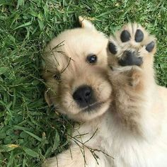 Give this Golden Retriever a high-five!