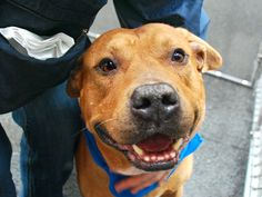 SUPER URGENT SHADOW – A1035307 MALE, BROWN / WHITE, PIT BULL MIX, 8 yrs STRAY – ONHOLDHERE, HOLD FOR ID Reason ABANDON Intake condition UNSPECIFIE Intake Date 05/05/2015,