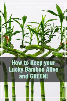 Lucky bamboo is famous for turning yellow and dying... so here's what to look out for, as well as what to do if you do start to see some yellowing... Bamboo Plant Care, Lucky Bamboo Plants, Best Indoor Plants, Air Plants, House Plants Decor, Plant Decor, All About Plants, Apartment Plants, Bedroom Plants