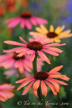 Tatton Flower Show - Echinacea Envy