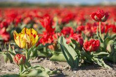 #Bretagne - #Finistere : le temps des tulipes (5 photos dont 2 panoramas de 3 000 px) © Paul Kerrien - http://toilapol.net