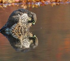forbes-falconry