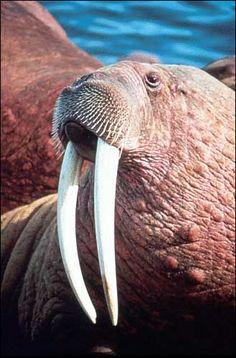 Tête de morse au museau légèrement poilu avec de longues défenses blanches (40cm) qui descendent de sa bouche