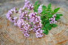 All Plants, Garden Plants, Cut Flowers, White Flowers, Edging Plants, Alpine Garden, Herbaceous Perennials, Medicinal Plants, Natural Remedies