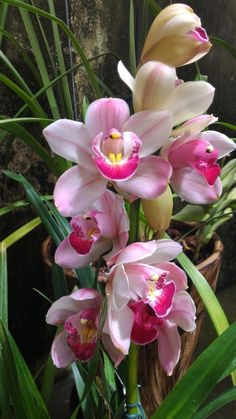 Cymbidium sp Learn how much light and water a cymbidium orchid needs t… - House Plants Types Of Flowers, All Flowers, Exotic Flowers, Tropical Flowers, Amazing Flowers, Beautiful Roses, Beautiful Flowers, Orchid Flowers, Cymbidium Orchids