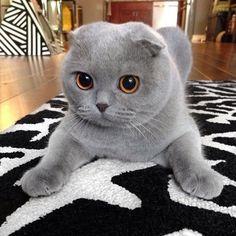 I'm a BEAUTIFUL Scottish Fold Kitty. Hold still while I POUNCE on you!