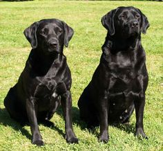 I love black labs. Such beautiful dogs. Their square noses, big heads, smooth slick coats, and wide muscular chests are such great features. Such solid strong dogs and you can't beat their loyal and loving personalities!