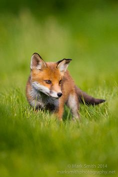 Red Fox Cub by markgsmith - Mark Smith Fox Pups, Fox Dog, Clever Animals, Cute Animals, Funny Animals, Most Beautiful Animals, Beautiful Creatures, Fantastic Fox, Fox Images