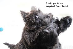 From Scottish Terriers on FB. Scottie puppies rule!