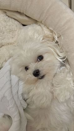 Maltese Dog Haircuts 137796 Charlie S New Haircut Love the Ears Maltipoo Maltepoo Maltese - Hairstyle ideas Cute Baby Animals, Funny Animals, Funny Dogs, Cute Puppies, Dogs And Puppies, Dog Haircuts, Maltese Dogs, Teacup Maltese, Tier Fotos