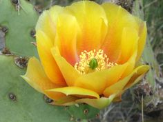 Prickly Pear Cactus Flower : Photos, Diagrams & Topos : SummitPost