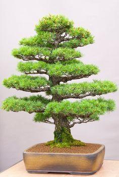 Japanese Bonsai Trees   Bonsai Japanese White Pine Pinus parviflora Formal…