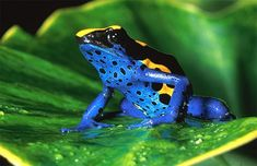 Dyeing poison arrow frog (Dendrobates tinctorius) in the lowland rain forest of French Guyana. Dr. Zoltan Takacs.