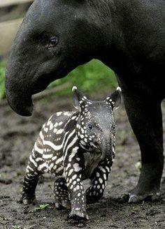 Newborn Tapir