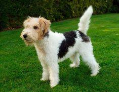 Esse cão, cujo nome de origem é Fox Terrier (Wire), é natural da Grã-Bretanha. A raça é caracterizada pela ossatura e força dentro de um pequeno espaço.  Nunca é pesado nem grosseiro. Não deve ser pernalta,nem curto nos membros. Sua postura tem de ser de caçador, com dorso curto e firme. Por ser muito ativo, necessita de altos níveis de atividade e exercícios físicos.   #FoxTerrier #FoxTerrierdePeloDuro #Raçadecachorro