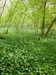 wild garlic and bluebells in the local woods