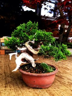 Itogawa shimpaku Bonsai, Plants, Plant, Planets, String Garden
