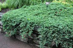 Sinilaakakataja - Juniperus horizontalis ´Wiltonii´