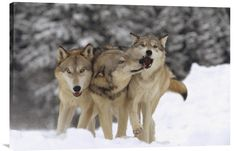 Timber Wolf Trio Playing in Snow, Montana http://www.explosionluck.com/collections/wildlife-wall-painting/products/timber-wolf-trio-playing-in-snow-montana