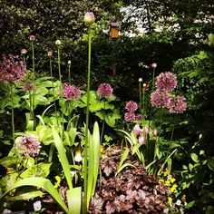 Allium in the Smithsonian Mary Livingston Ripley Garden on a beautiful spring day