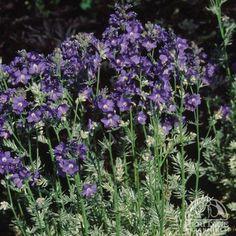 Polemonium caeruleum 'Snow & Sapphires'