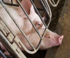 Você lutou conosco e nós vencemos! A JBS-Seara publicou em seu site que todas suas granjas, incluindo as de produtores integrados e contratados, adotarão o sistema de baias coletivas, que aloja porcas parideiras em grupo durante a gestação e substitui o uso de gaiolas.  Essa foi uma campanha incrível, em que mais de 60 mil pessoas se uniram e não só assinaram nossa petição, como também participaram de vários protestos virtuais que cobraram um posicionamento de atores ligados a JBS – como a…