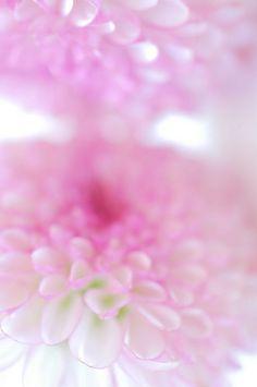 very soft pink mums