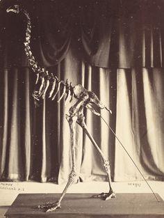 Dinornis robustus, now Dinornis novaezealandiae, 25 October 1867
