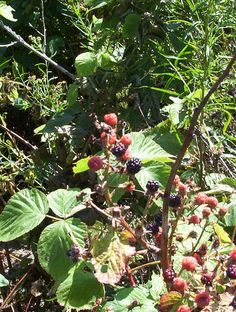 Mid-summer - Wild blackberries are pretty easy to find in Howard County. They grow at the edges of open space and the beginnings of scruff plants. Very easy to find near parking lots, paths and more. June-Julyish.