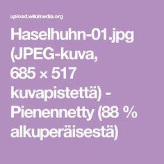 Haselhuhn-01.jpg (JPEG-kuva, 685×517 kuvapistettä) - Pienennetty (88 % alkuperäisestä)