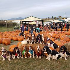 November is here time to turn these Pumpkins into Pie! Has anyone ever made pumpkin pie from an actual pumpkin? Basset Puppies, Hound Puppies, Basset Hound Puppy, Dogs And Puppies, Beagles, Doggies, Dumb Dogs, Bassett Hound, Cute Animals