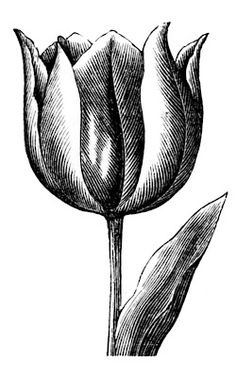 Vintage Clip Art - Spring Tulips - The Graphics Fairy