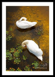 Animal Framed Print featuring the photograph Two Swans With Sun Reflection On Water. by Jan Brons. Two swans with sun reflection on shallow water.   This has been a real challenge to take this photo of these swans as I had to find a high point to shoot downwards.