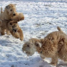 Wheatens love to play in the snow! It's a lot of fun to watch them in action! :)