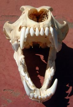 wolf skull open - Google Search