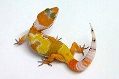 Cremesicle leopard gecko