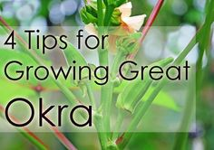 4 Tips for Growing Better Okra