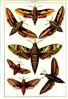 Sphinx Moths