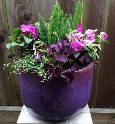 Foxtail Fern, Oxalis, New Guinea Impatiens & Creeping Wire Vine  Foxtail fern is the focal point of this combo and it's surrounded with lush Oxalis (shamrock plant), New Guinea Impatiens and Creeping Wire vine. Put this combo in morning sun and afternoon shade for long lasting blooms.