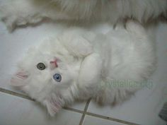 white persian cats | ... persians available in central florida we have blue eyed white kittens