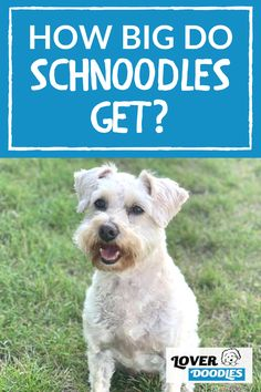 If you are considering a Schnoodle, you may be wondering how big they get? Here are all the factors that go into determining how big schnoodle puppies will get! #Schnoodle #MediumDogBreed #SmallDogBreed Schnoodle Puppy, Cavapoo, Goldendoodle, Small Dog Breeds, Small Breed, Doodle Dog Breeds, Small Doodle, Mini Poodles, Medical Conditions