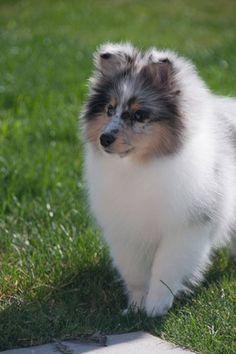 https://flic.kr/p/wcsr13   Sheltie Puppies are the Cutest   ift.tt/1OtbZxf via /r/aww ift.tt/1JmCJ3k