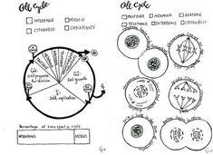 cumulative topic 3: mitosis | Teaching | Pinterest | Cycling