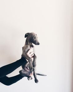 """Ziggy The Blue Whippet on Instagram: """"Such a beauty ❤️❤️ #ZiggyTheBlueWhippet"""" …"""