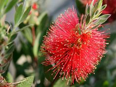 Callistemon citrinus   Lemon Bottlebrush (Red Bottlebrush)